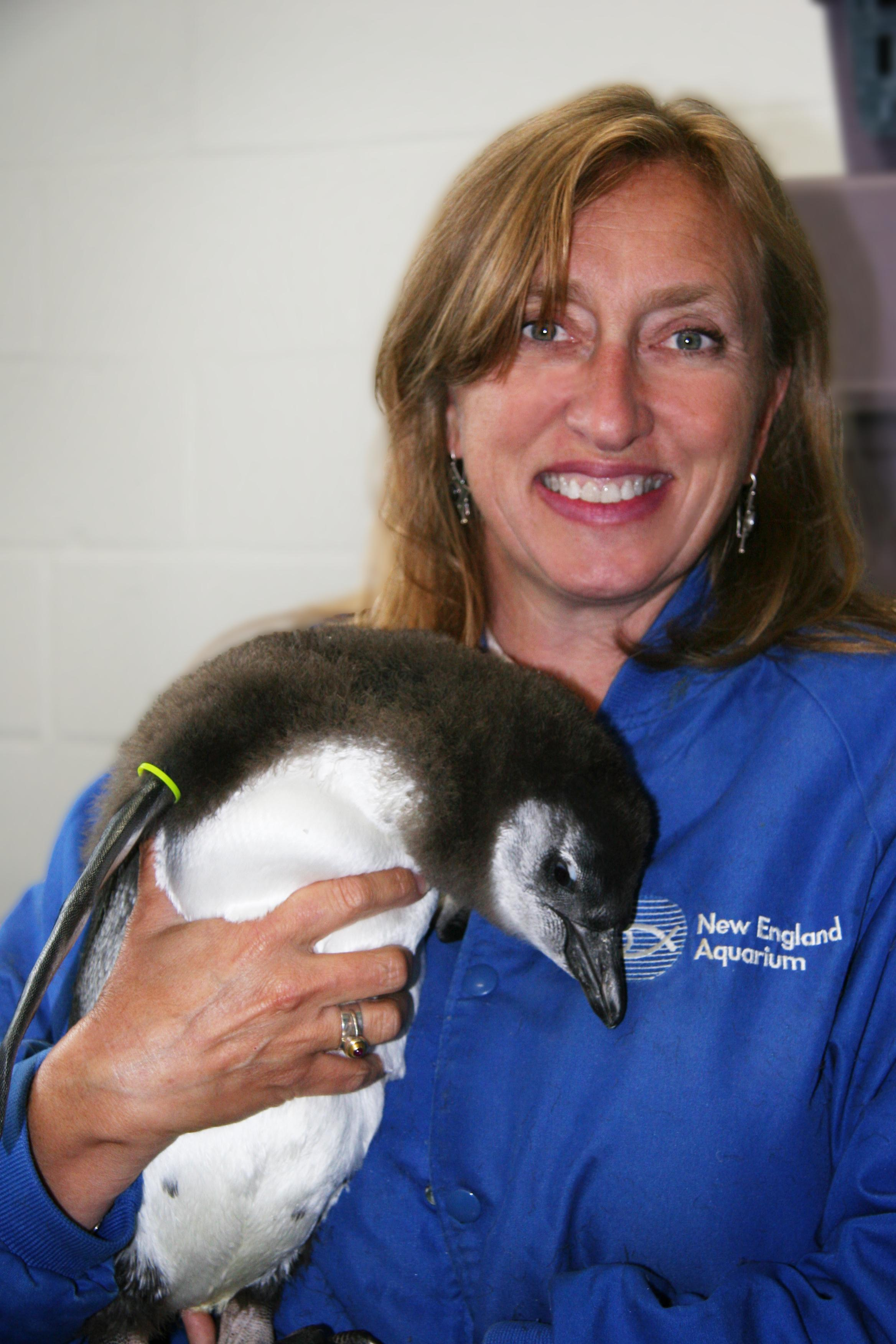 Dyan deNapoli with African penguin chick at NEAq